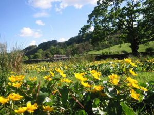 Marsh Marigolds near Redmire Farm