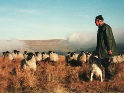 Farming Redmire's sheep